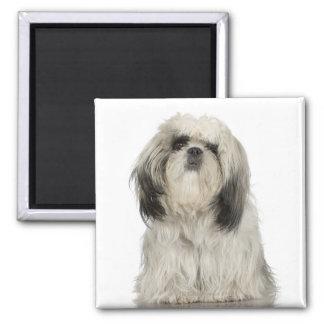 Portrait of Tibetan terrier puppy Magnet