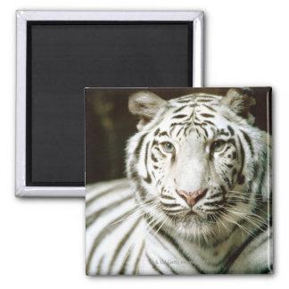 Portrait of tiger magnet