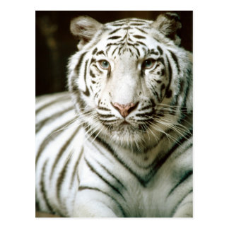 Portrait of tiger postcard