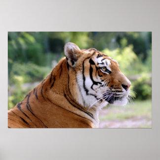 Portrait of tiger poster