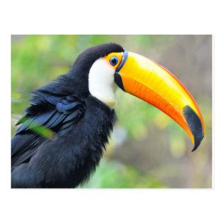 Portrait of toco toucan postcard