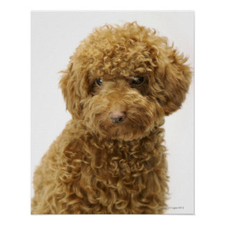 Portrait of Toy Poodle Poster