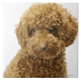 Portrait of Toy Poodle Tile