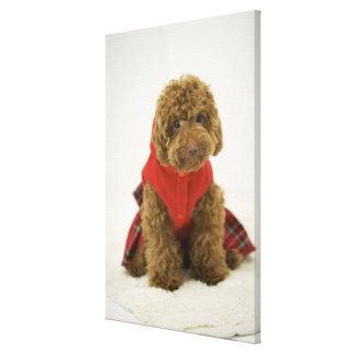 Portrait of Toy Poodle wearing cloth sitting Canvas Print