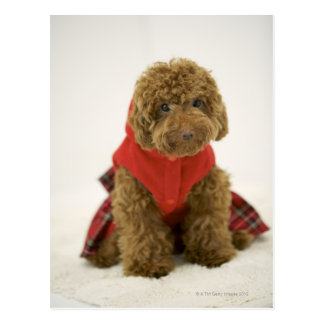 Portrait of Toy Poodle wearing cloth sitting Postcard