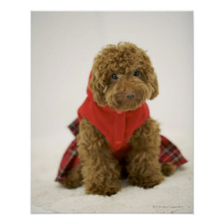 Portrait of Toy Poodle wearing cloth sitting Poster