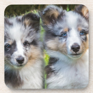 Portrait of two young sheltie dogs coaster