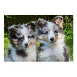 Portrait of two young sheltie dogs postcard