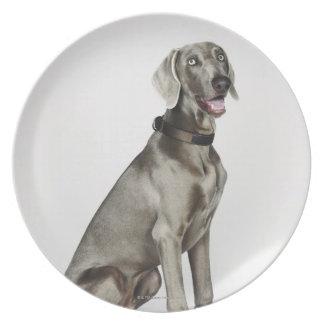 Portrait of Weimaraner dog Dinner Plates