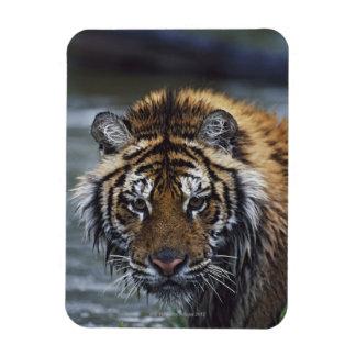 Portrait Of Wet Siberian Tiger Magnet