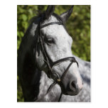 portrait of white horse 2 post card