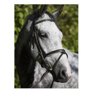 portrait of white horse 2 postcard