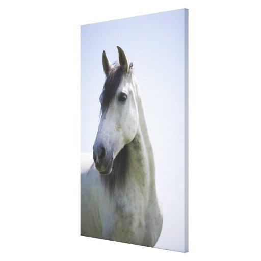 portrait of white horse 3 canvas prints