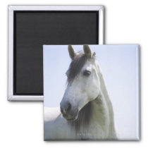 portrait of white horse magnet