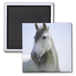 portrait of white horse magnet