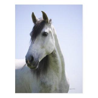 portrait of white horse postcard