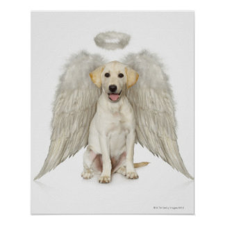 Portrait of white Labrador retriever wearing Poster