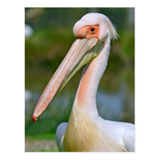 Portrait of white pelican postcard