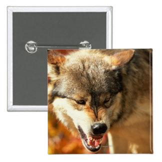 Portrait of wolf growling pinback button
