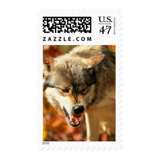 Portrait of wolf growling postage