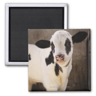 Portrait of young calf in stable 2 inch square magnet