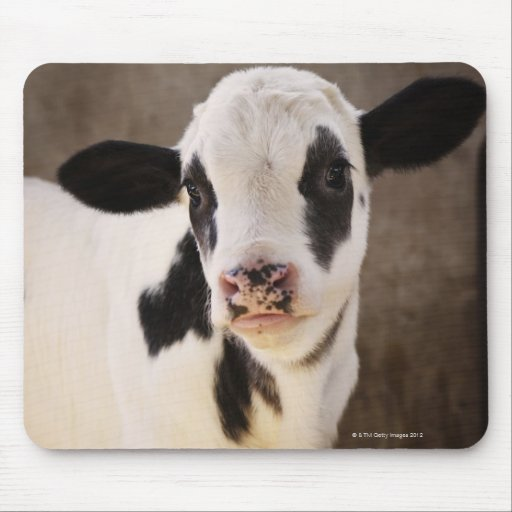 Portrait of young calf in stable mouse pad