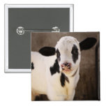 Portrait of young calf in stable pinback button