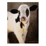 Portrait of young calf in stable postcard
