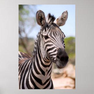 Portrait of zebra poster