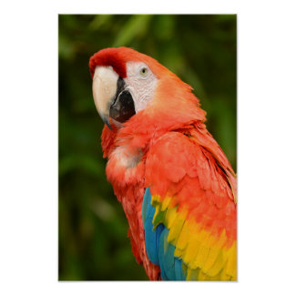 Portrait Scarlet macaw Poster