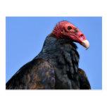 Portrait Turkey vulture Post Card