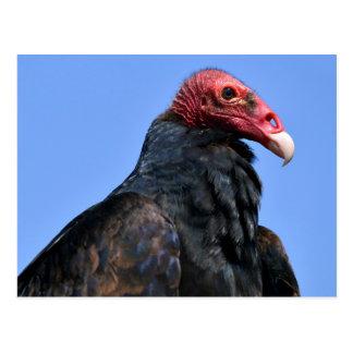 Portrait Turkey vulture Postcard