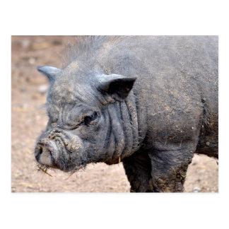 Portrait Vietnamese potbellied pig Postcard