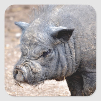 Portrait Vietnamese potbellied pig Square Sticker