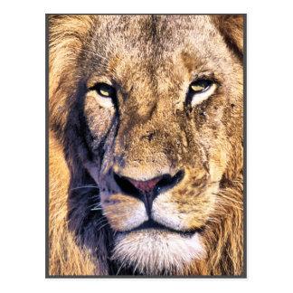 Portrait young lion postcard