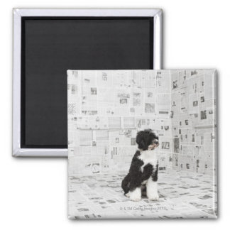 Portuguese Water Dog in room covered in 2 Inch Square Magnet