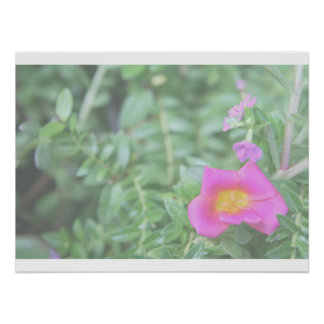 Portulaca dark pink flower green back faded print