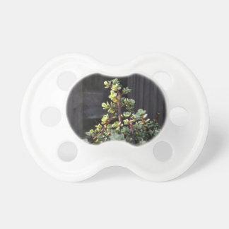 portulacaria varigated contra la planta de la chupetes para bebés