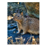 Posing Squirrel Postcards