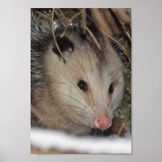 Possum Closeup Poster