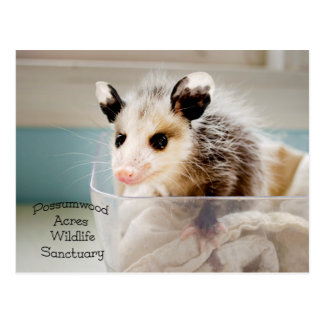 Possum Postcard