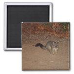 Possum With Red Shinning Eye Magnet