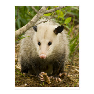 Possums are Pretty - Opossum Didelphimorphia Postcard