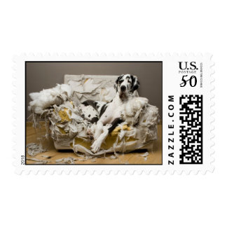 Postage Stamp Great Dane on Chewed Sofa