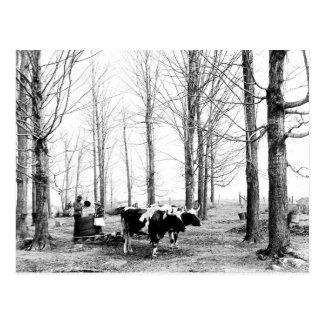 Postal 1904 de Vermont del campo del azúcar de
