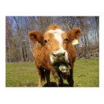 Postal 1 de la vaca