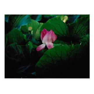 Postal acuática de la planta de la flor del Nympha
