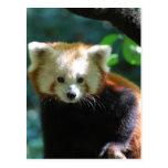 Postal adorable de la panda roja