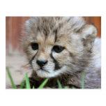 Postal adorable del guepardo del bebé