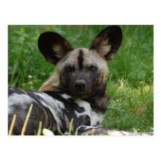 Postal africana de la foto del perro salvaje